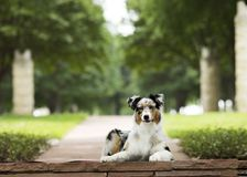 Tri colored aussie lays on flagstone walkway in park with stone. Brown, black and white Australian shepherd laying on a flagstone step in the park with white royalty free stock photography