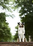 Tri color Aussie sitting in park with trees and sky as backgroun. Brown black and white Australian Shepherd sitting on flagstone steps outdoors with blurry green stock photo