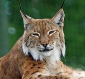 Brown Black and White Bobcat Stock Photography