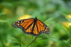 Brown Black White Butterfly on Green Leaf Plant Royalty Free Stock Images