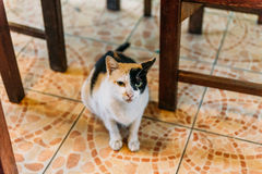 Brown, Black and White Color Cat in The Hotel at Luang Prabang, Laos.  Stock Photography