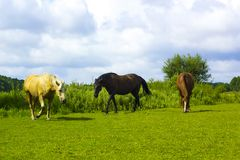 Brown, black and white horses grazes on pasture. Domestic animals brown, black and white horses grazes on pasture. Summer rural scene with walking group of three Royalty Free Stock Photography
