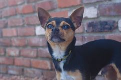 Brown Black and White smooth short haired Chihuahua stock photography