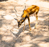 Brown blackbuck on sand yard in the zoo, Thailand. Stock Images