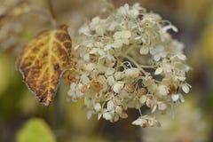 Brown-Blatt und eine glatte Hortensie arborescens weiße Blumen am Sommer arbeiten im Garten Stockfotos