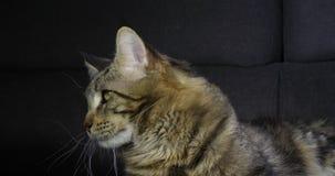 Brown Blotched Tabby Maine Coon Domestic Cat, Porträt des Mannes gegen schwarzen Hintergrund, Normandie in Frankreich, Zeitlupe stock video