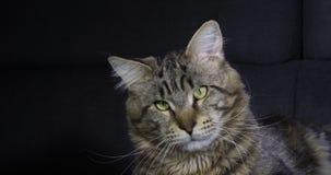 Brown Blotched Tabby Maine Coon Domestic Cat, Porträt des Mannes gegen schwarzen Hintergrund, Normandie in Frankreich, Zeitlupe stock footage