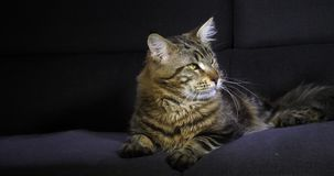 Brown Blotched Tabby Maine Coon Domestic Cat, pose masculine sur le fond noir, Normandie en France, mouvement lent banque de vidéos