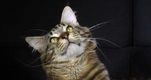 Brown Blotched Tabby Maine Coon Domowy kot, portret samiec przeciw Czarnemu tłu, Normandy w Francja, zwolnione tempo zdjęcie wideo
