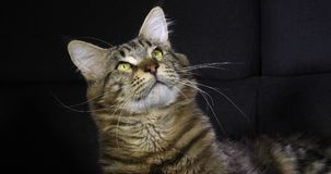 Brown Blotched Tabby Maine Coon Domowy kot, portret samiec przeciw Czarnemu tłu, Normandy w Francja, zwolnione tempo zbiory