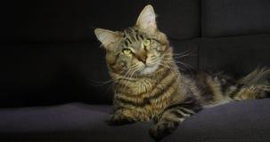 Brown Blotched Tabby Maine Coon Domowy kot, samiec kłaść przeciw Czarnemu tłu, Normandy w Francja, zwolnione tempo zdjęcie wideo