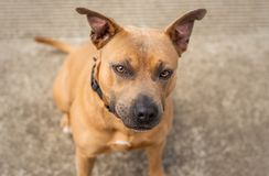 Brown and black Pit Bull or Staffordshire Terrier mix dog looks up at the camera royalty free stock images