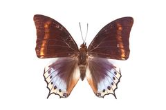 Brown and blue butterfly Charaxes euryalus Stock Image
