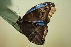 Brown and blue butterfly Stock Photo