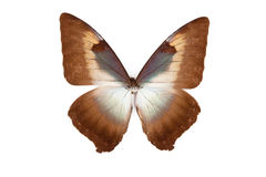 Brown and blue butterfly Morpho phanodemus royalty free stock images