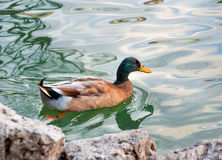 Brown and blue duck Stock Photos