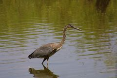 Creve Coeur Lake. Brown and blue egret water reflection rippling water stock photo