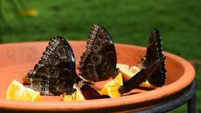 Brown and blue tropical butterflies eating fruits. Close up of several beautiful vivid brown and blue tropical rainforest butterflies eating fruits in butterfly stock footage