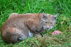 Brown Bobcat on Green Grass Stock Photos
