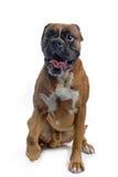 Brown bokser Royalty Free Stock Images