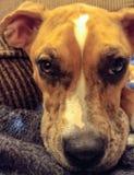 Brown boksera psa Australijska Pasterska mieszanka na koc fotografia royalty free