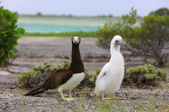 Brown  Booby Bird with a Chick Royalty Free Stock Images
