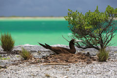 Brown Booby Bird. Royalty Free Stock Images