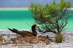 Brown Booby Bird in the nest. Near lagoon water. Kiritimati Island royalty free stock image