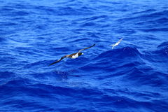 Brown Booby chasing flyingfish Stock Photo