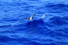 Brown Booby chasing flyingfish Stock Images