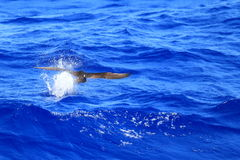 Brown Booby chasing flyingfish Royalty Free Stock Photos