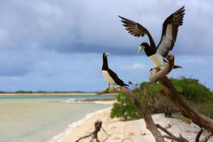 Brown Booby Couple. Stock Images