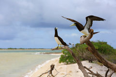 Brown Booby Couple. Royalty Free Stock Image