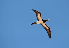 Brown booby. A brown booby cruises a beach near Broome Royalty Free Stock Photo