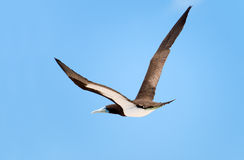 Brown Booby in Flight, Great Barrier Reef, AU Royalty Free Stock Images