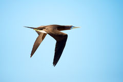 Brown Booby in Flight, Great Barrier Reef, Australia Royalty Free Stock Photography