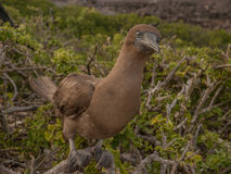 Brown Booby Stock Images