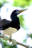 Brown Booby, Sarawak Royalty Free Stock Images