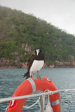 Brown Booby sitting on life buoy of boat. Bird (Brown Booby) visiting crew on boat, resting on life buoy with island in background. Our skipper said it brings Stock Image