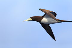 Brown Booby Stock Photos