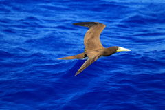 Brown Booby Royalty Free Stock Photos