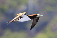 Brown Booby Royalty Free Stock Images