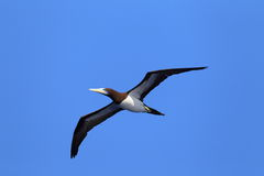 Brown Booby Stock Photography