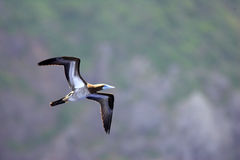Brown Booby Royalty Free Stock Photography