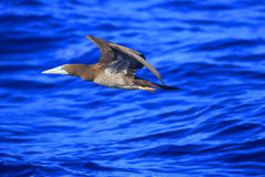 Brown Booby Royalty Free Stock Image