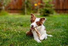 Brown border collie dog playing with a stick stock photos