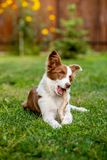 Brown border collie dog playing with a stick royalty free stock photo