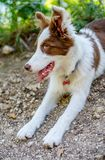 Brown border collie dog sitting on the ground stock photo