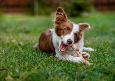 Brown border collie dog sitting on the ground. Brown border collie dog sitting stock photos
