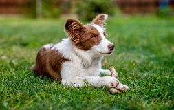 Brown border collie dog sitting on the ground royalty free stock images